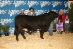 Grand Champion Bull<br>EMS Captain Britches